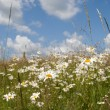 Stock Photo: Daisy field in summer day