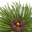Pine closeup - Stock Photo