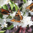 Stock Photo: Butterflies on white flowers
