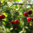 Stock Photo: Cherries on brunch
