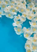 White jasmin flowers in blue water — Stock Photo