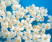 White jasmin flowers in blue water — Stock Photo