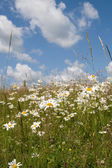 Daisy field in summer day — Stock Photo