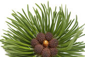 Pine closeup — Stock Photo