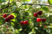 Cherries on a brunch — Stock Photo