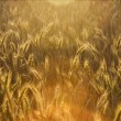 Sunny cornfield — Stock Photo