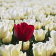 Stock Photo: Red tulip in white