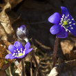 Blooming hepatica — Stock Photo