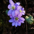 Blooming hepatica in spring — Stock Photo