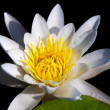 The water yellow-white lily — Stock Photo