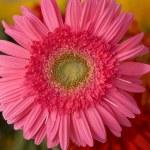 Pink herbera — Stock Photo #1235871