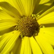 Yellow macro flower — Stock Photo