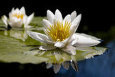 The water lily — Foto de Stock