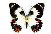 Butterfly series - Rare Beautiful Butter — Stock Photo