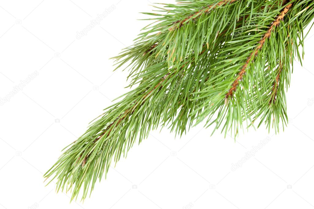 Green Firtree isolated on white background  Photo #1596701