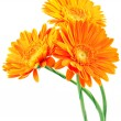 Three orange gerbera flowers — Stock Photo