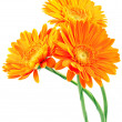 Stock Photo: Three orange gerbera flowers