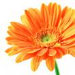 Orange gerbera blomma — Stockfoto