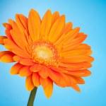 Orange gerbera flower — Stock Photo #1702515