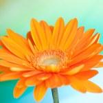 Orange gerbera flower — Stock Photo #1735173