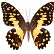 Butterfly series - Beautiful Butterfly — Stock Photo