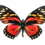 Rare Beautiful Butterfly — Stock Photo #1849913
