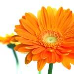 Orange gerbera flower — Stock Photo #1945494