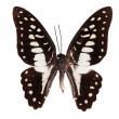 Butterfly series - Beautiful Butterfly — Stock Photo #1945509