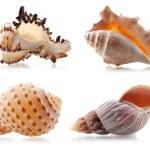 Four sea shells — Stock Photo