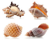 Four sea shells — Stock Photo