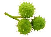 Three green chestnuts — Stock Photo