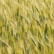 Royalty-Free Stock Photo: Golden wheat field background