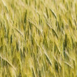 Golden wheat field background — Stock Photo