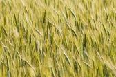 Golden wheat field background — Stock Photo
