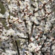 Spring blooming cherry flowers branch — Stock Photo