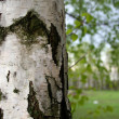 Birch — Stock Photo #1236963
