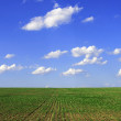Stock Photo: Green agricultural sow field