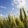 Close-up of golden ears of wheat — Stock Photo #1239759