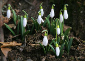 The first snowdrops — Stock Photo