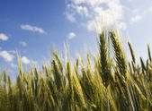 Close-up of golden ears of wheat — Stock Photo