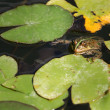 Water frog sitting on leaves — Stock Photo