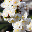Blooming cherry flowers branch — Stock Photo