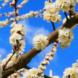 Spring blooming sakura cherry — Stock Photo