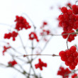 Red viburnum berries - Stock Photo