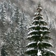 Fir tree with snow - Stock Photo