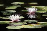 Twee waterlelies — Stockfoto