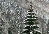 Fir tree with snow — Stock Photo