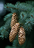 Fir-tree branches with cones — Stock Photo