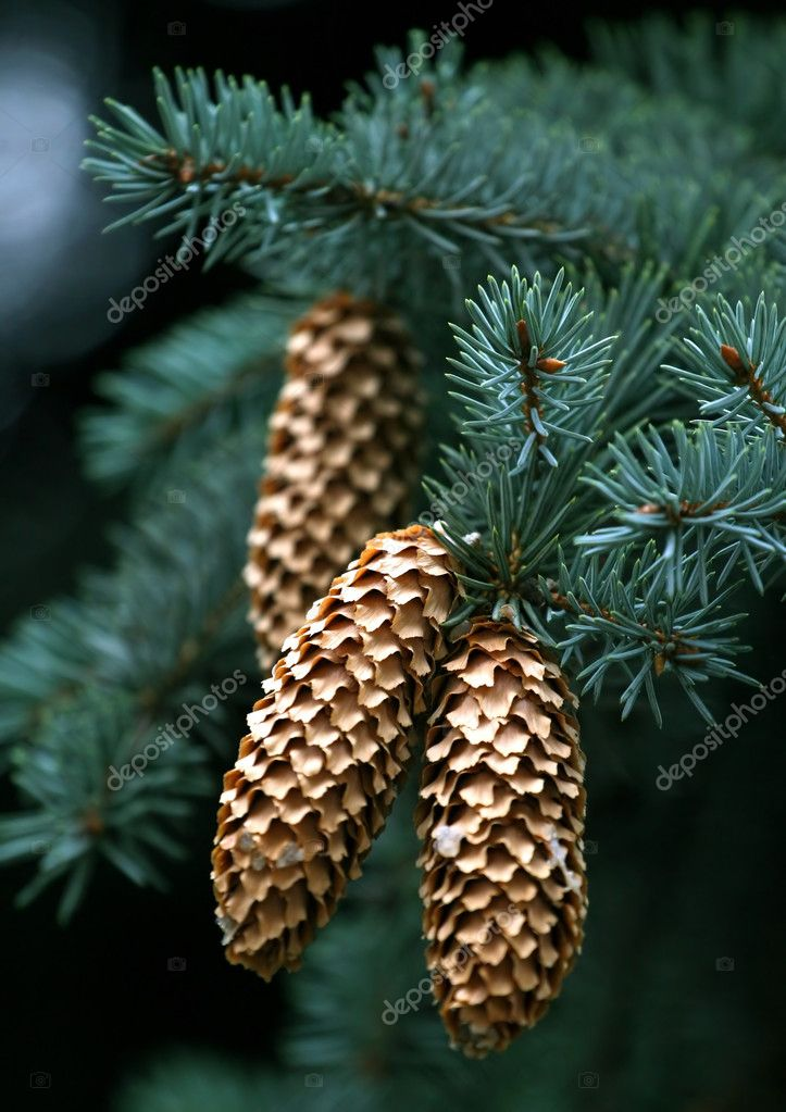 Close-up of fir-tree branches with cones again black background  Stock Photo #1248350