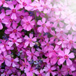 Stock Photo: Small pink flowers background